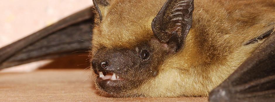 Riverview Bat Removal
