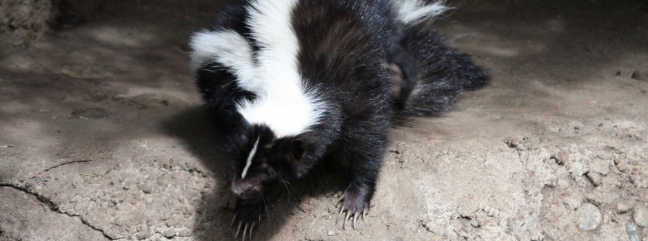 Riverview Skunk Removal